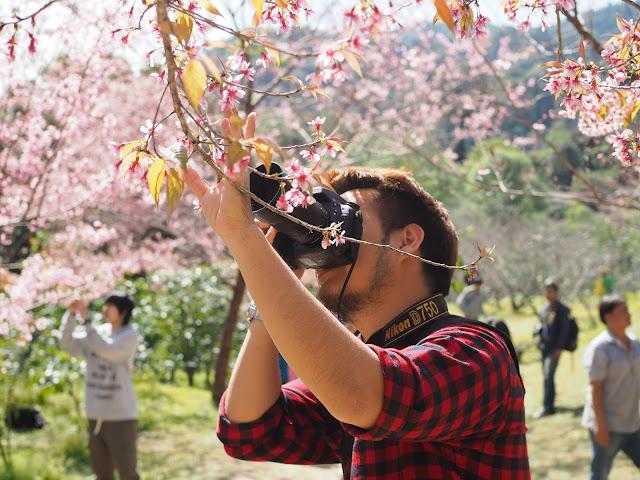 Prunus cerasoides Thailand 2559