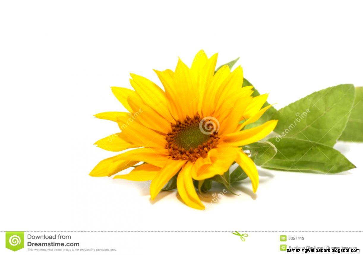 Sunflower White Background No Watermark Amazing Wallpapers