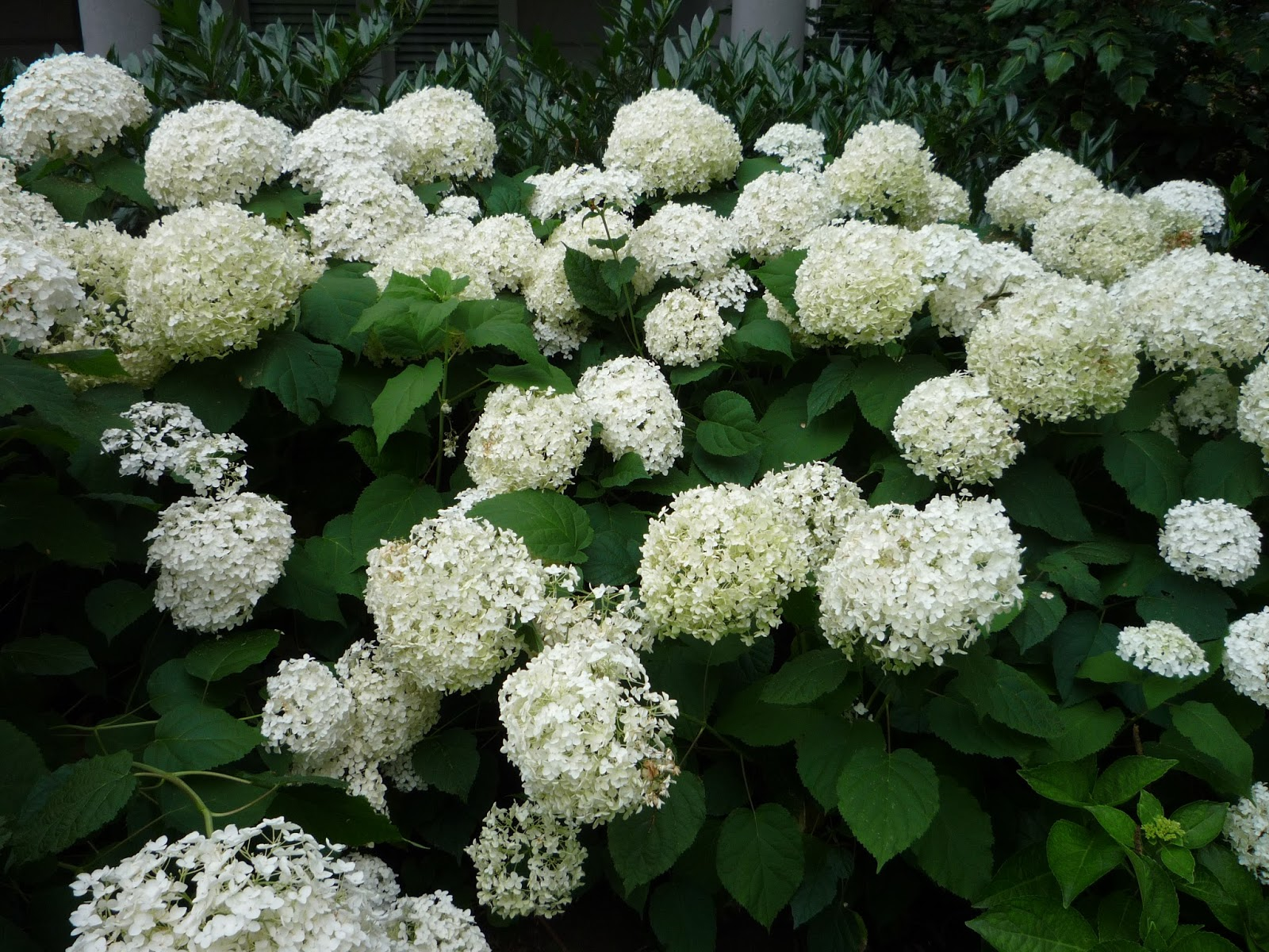 strange 39 s garden center hydrangeas a calendar of bloom times. Black Bedroom Furniture Sets. Home Design Ideas