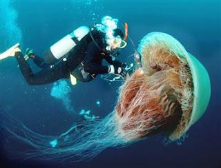 ubur-ubur raksasa, aneh unik
