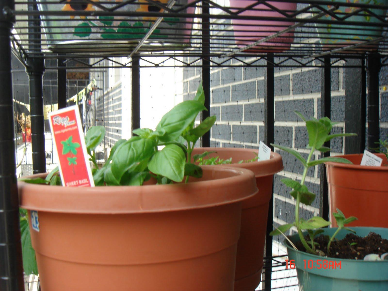 gunksdesigns vegetable garden on my balcony