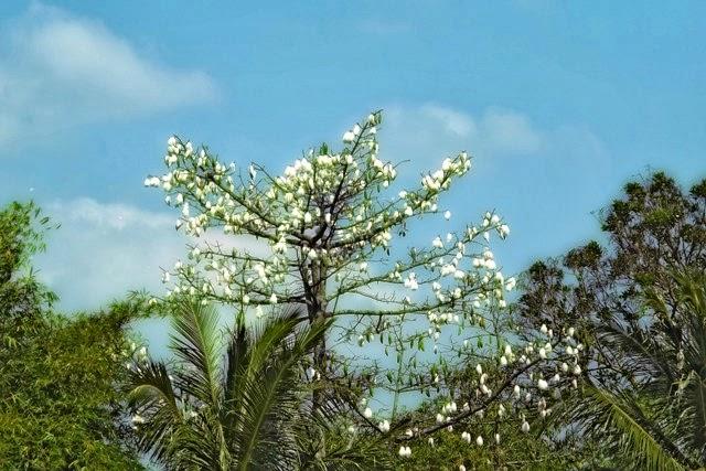 Pohon kapuk, contoh tanaman sandang yang berasal dari buahnya.
