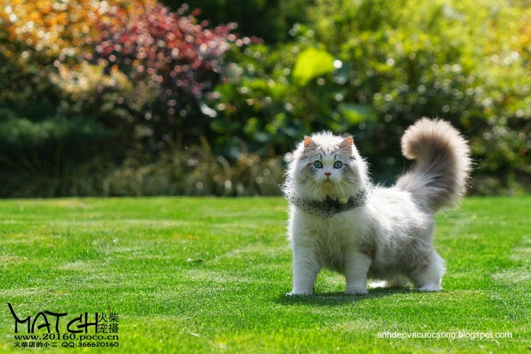 Tiểu thư mèo xinh đẹp 2