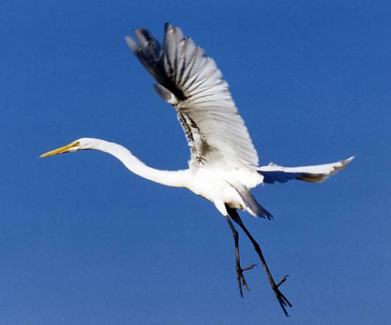 Garza Blanca Ave Las Garzas Ardeidae Son Aves