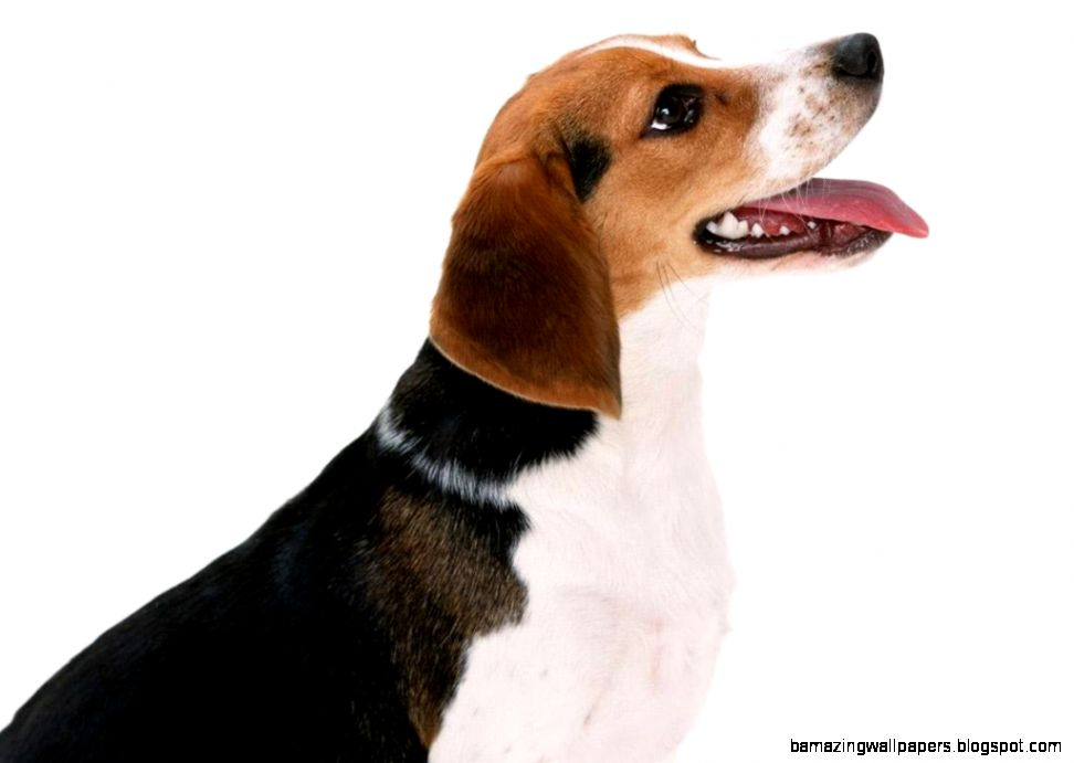 Free wallpaper Artois hound dog white background