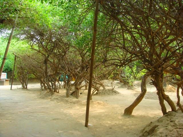Tree at Nidhivan