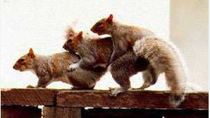 funny picture f*ck of three squirrels