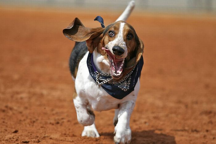 World Of Technology: Running Basset Hounds Basset Hound Running