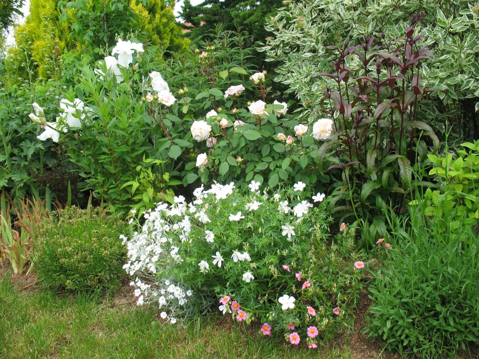 Roses du jardin ch neland penst mon digitalis husker red - Geranium feuilles qui jaunissent ...