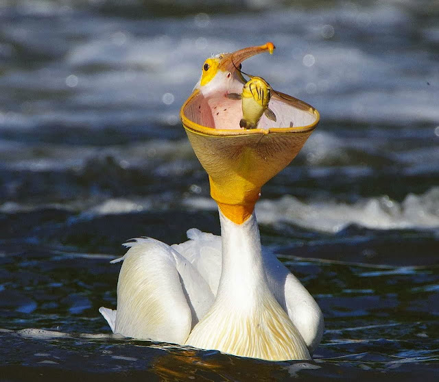 Funny animals of the week - 20 December 2013 (40 pics), bird eats fish