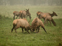 Bull Elk Fight in Boxley Valley near Ponca