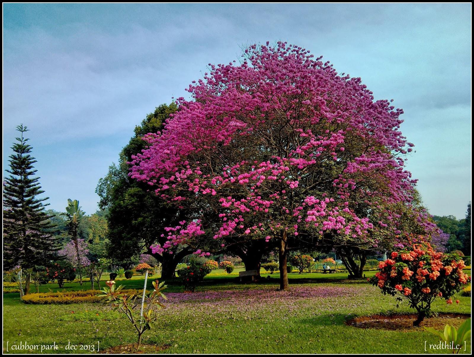 blossom park tree pink - photo #21