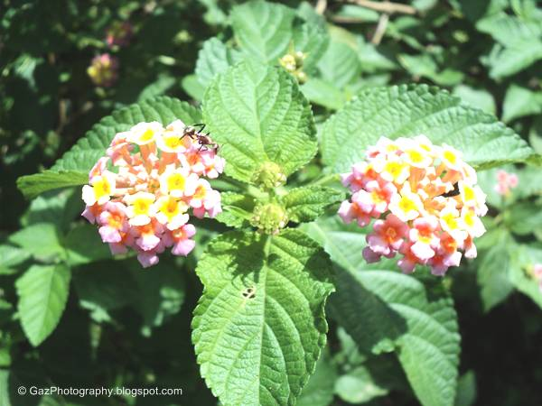 Gadapana-Veery famous Flowers in Sri Lanka
