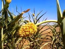الذرة طعام الثقافة السودانية