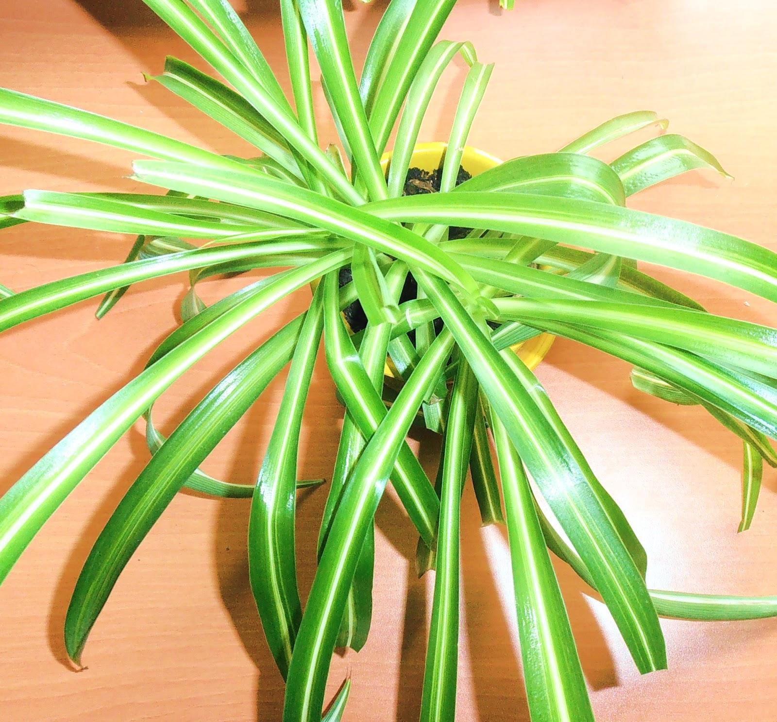 La ventana de javiruli plantas de interior 2 cinta - Cinta planta ...