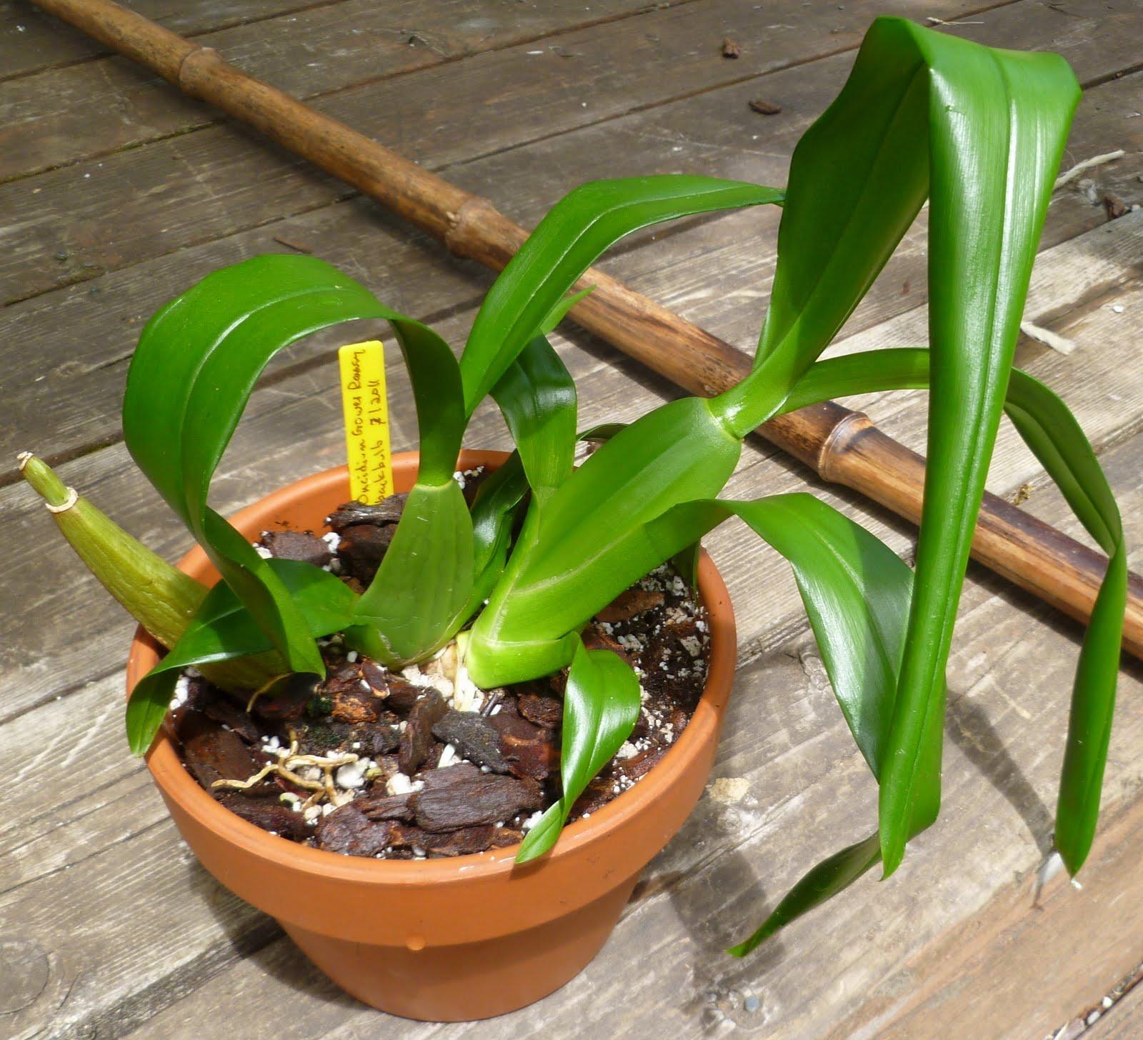 Qué sabemos de las orquideas Oncidium o bailarinas?, Cuidados de Orquideas
