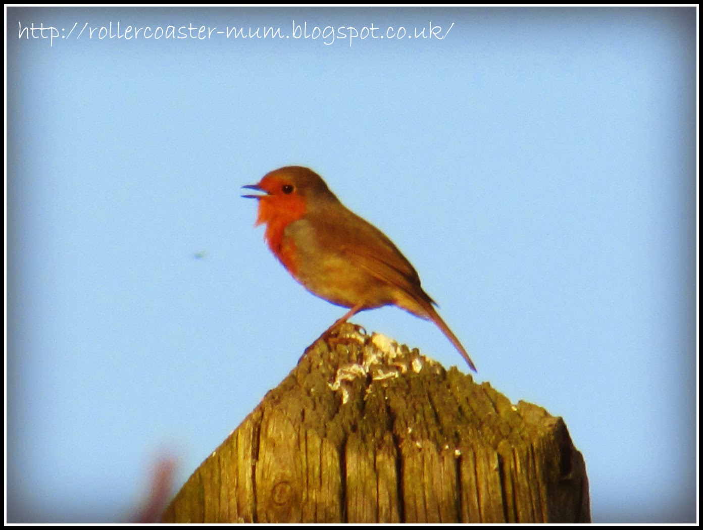 Robin's evening song
