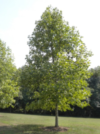 Eadha the Poplar tree