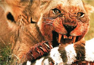 Львица, поедающая зебру
