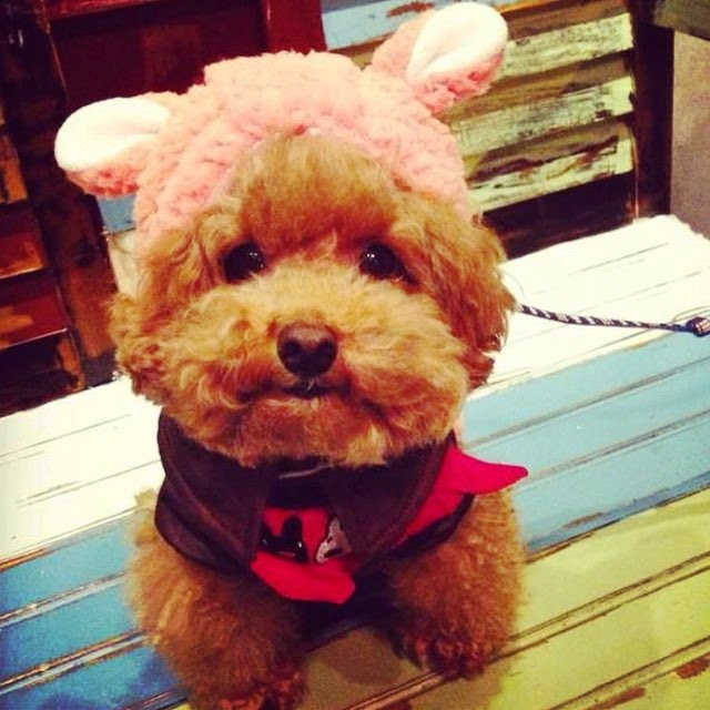Cute Poodle from Hong Kong
