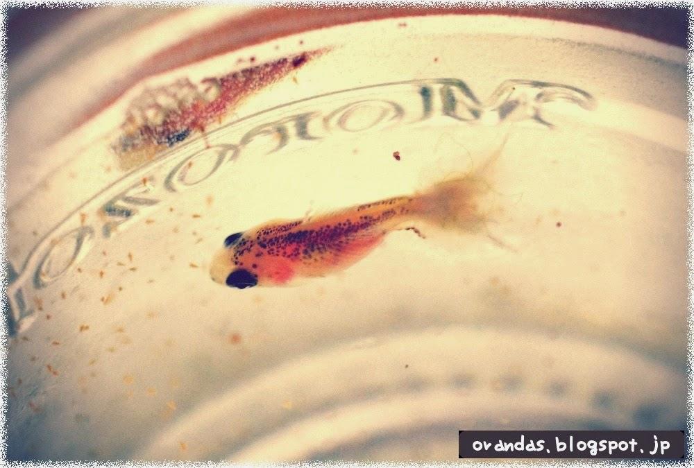 水カビ病の金魚の稚魚の写真です。