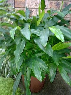Jardineria, Catalogo de Plantas: Amomum cardamon