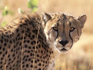 ملف كامل عن اجمل واروع الصور للحيوانات  المفترسة   حيوانات الغابة  23