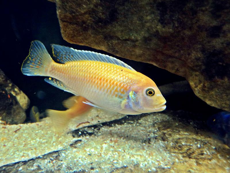 Colaborem: Fotos de Peixes e Plantas Aquáticas - Página 2 Z+gome+(1)