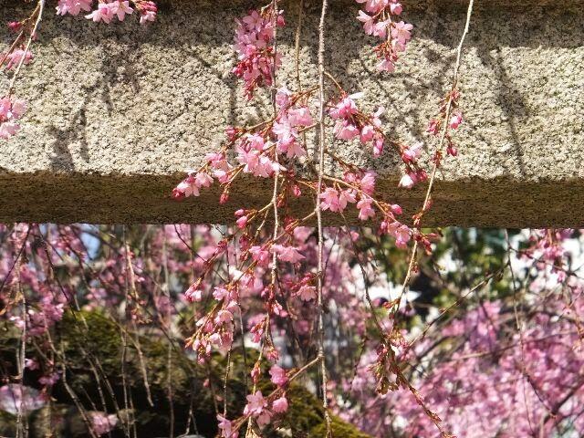 鳥居と紅しだれ桜。