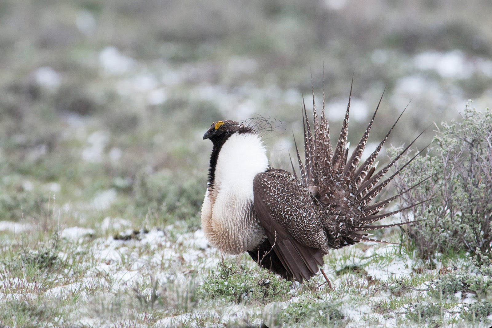 Sage grouse drawing - photo#15