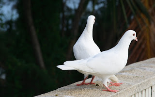 Poultry Dove Pigeons Nature Mood Pair Summer Beauty HD Love Wallpaper