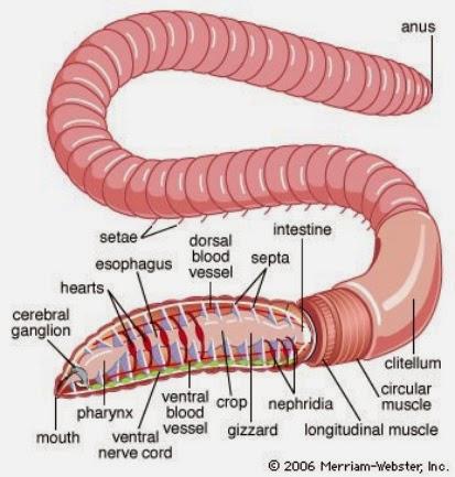 Ciencias de Joseleg: El sistema muscular en los gusanos anélidos