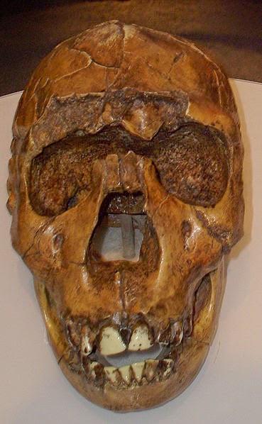 Gambar Manusia Purba - Homo Ergaster