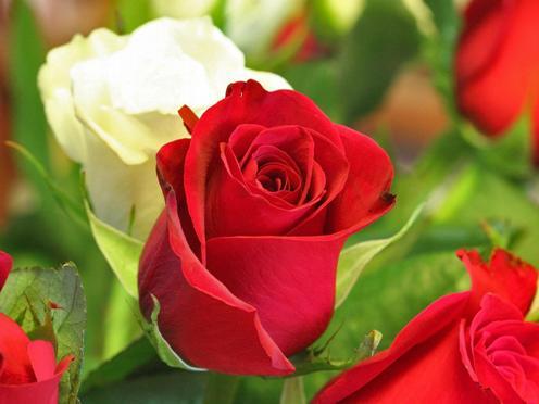 flower wallpaper. red rose flower wallpaper.