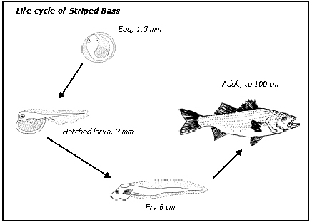 Zoology fish life cycle for Clown fish life cycle