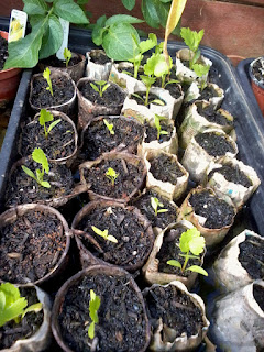 Parsnips ready to be transplanted to the allotment