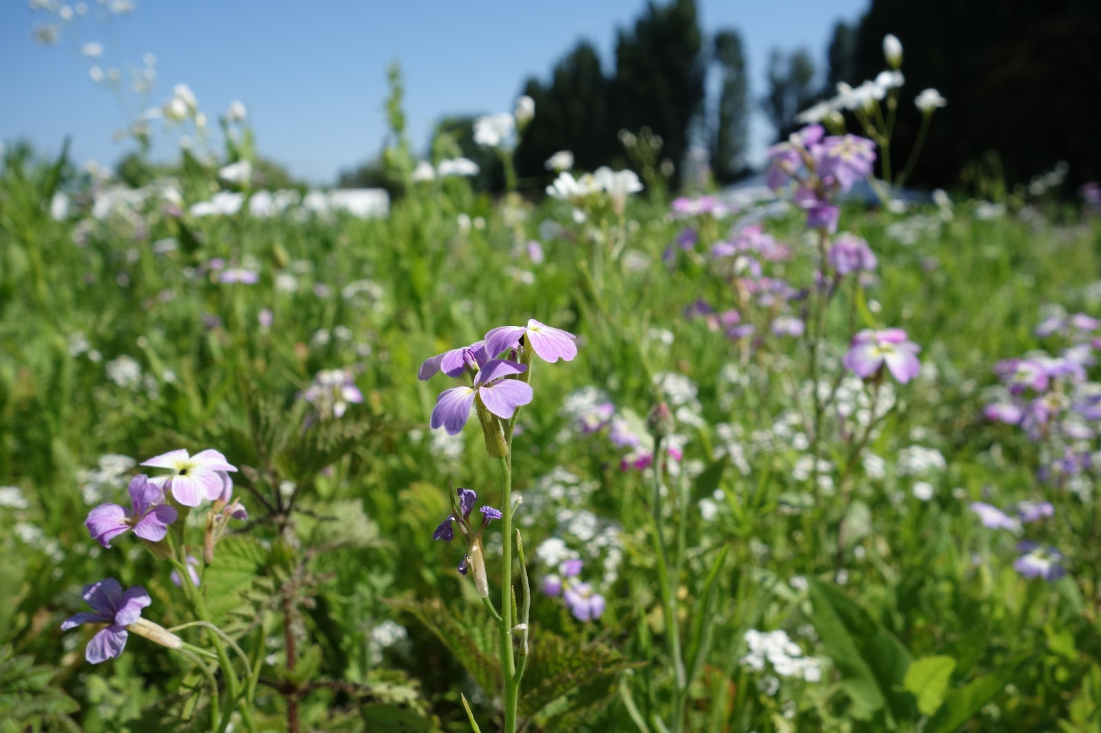 Urban pollinators july 2013 what plants are flowering in our annual meadows mightylinksfo
