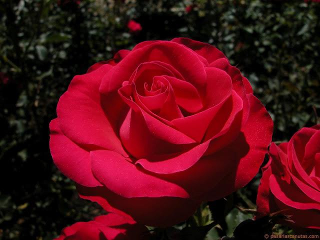 2-rosa-roja