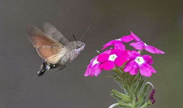Animals You May Not Have Known Existed - Hummingbird Hawk-Moth