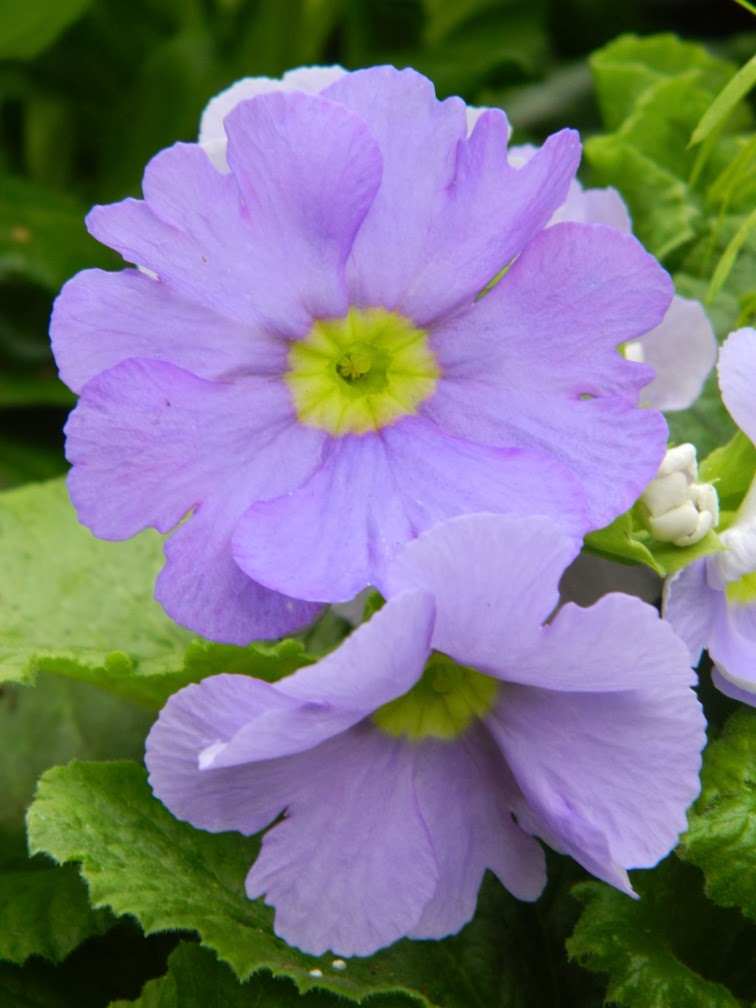Allan Gardens Conservatory Spring Flower Show pale blue Fairy primrose by garden muses-not another Toronto gardening blog