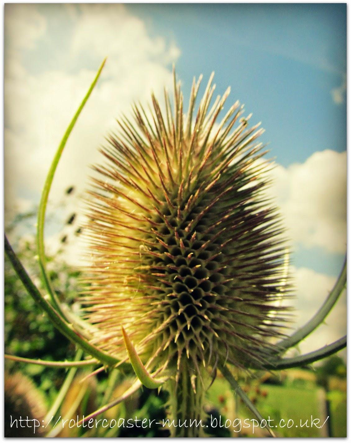 Dipsacus, Teasel flower