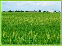 Paddy fields in Sekinchan, Selangor, Malaysia