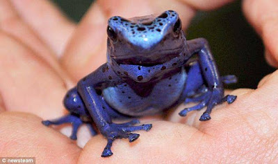 Poisonous Tiny Blue Frog That Can Kill 10 Men