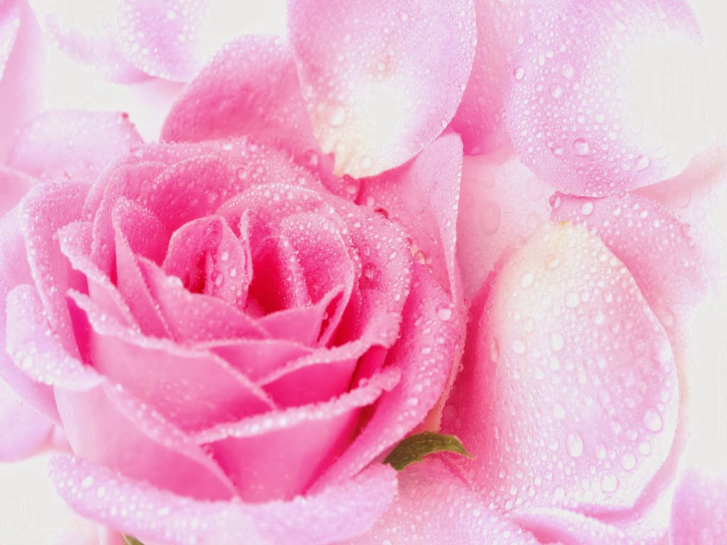 Beautiful pink rose flower latest unique hd wallpapers mightylinksfo