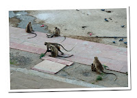 monos de pushkar