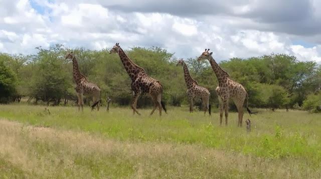 Krugerpark - groep giraffen op hun hoede voor hyena's