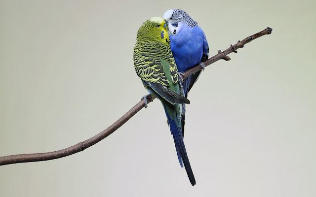 Periquitos de Colores en Pareja Imagenes de Aves Exoticas