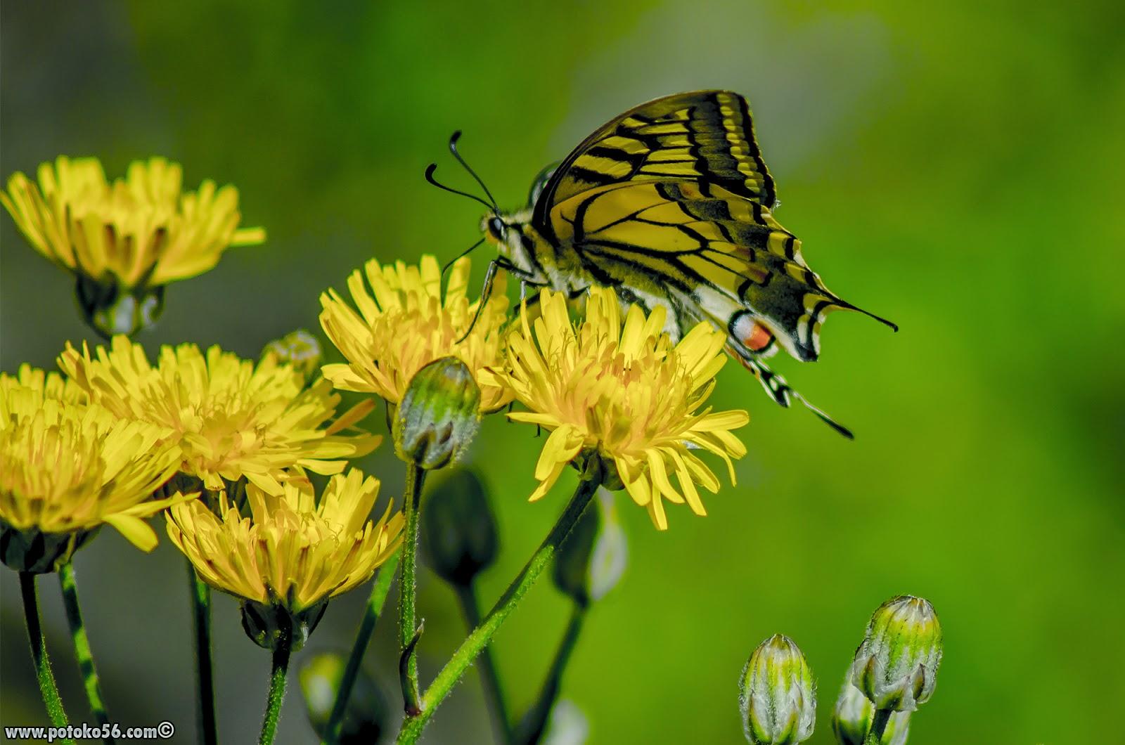 Mariposa sobre unas florecillas en los Pinares de Rota