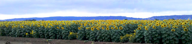 Field of sunflowers along the ride