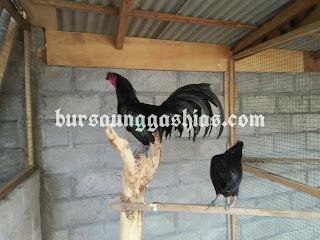 Jual ayam hias black sumatra